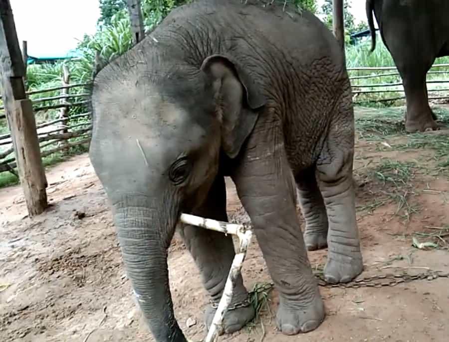 ช้างกินอ้อย